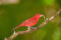 Summer Tanager with prey, Belize