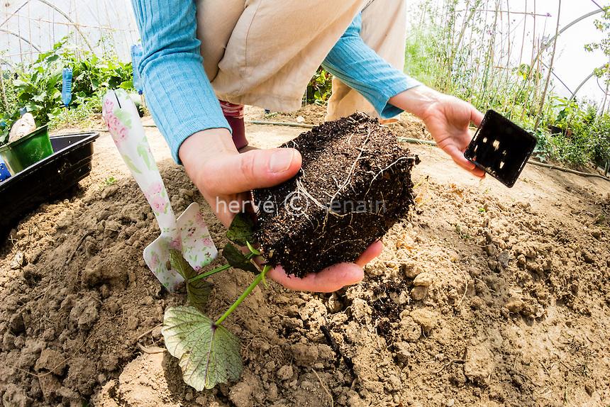 Planting sweet potato (Ipomoea batatas) // Plantation de patate douce (Ipomoea batatas)