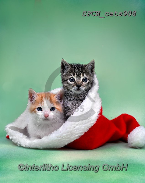Xavier, CHRISTMAS ANIMALS, WEIHNACHTEN TIERE, NAVIDAD ANIMALES, photos+++++,SPCHCATS908,#xa# ,cat