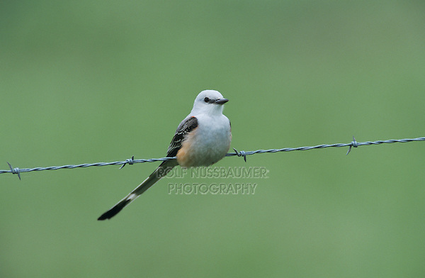 Scissor-tailed Flycatcher, Tyrannus forficatus,female on wire, Choke Canyon State Park, Texas, USA, September 2002