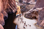 Chad (Tchad), North Africa, Sahara, Ennedi, large herd of camels gathering in canyon to drink; camels only need to drink about every 2 weeks
