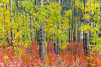 Fall colors of aspen trees.  Southcentral, Alaska<br /> <br /> Photo by Jeff Schultz/SchultzPhoto.com  (C) 2018  ALL RIGHTS RESERVED<br /> <br /> Abbie Winter photo tour workshop September 6-7 2018