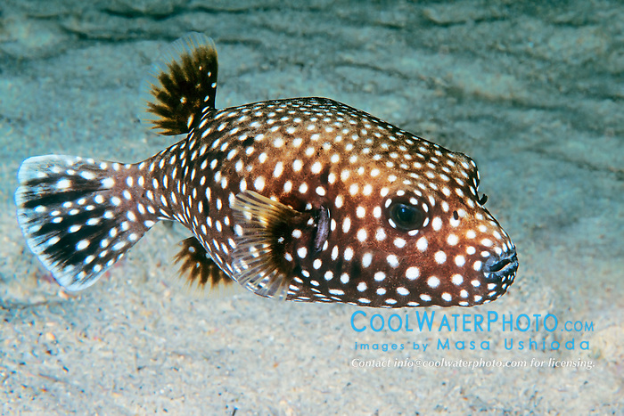 Spotted Puffer, Guineafowl Puffer, or Velcro Fish, Arothron meleagris, off Kona Coast, Big Island, Hawaii, Pacific Ocean