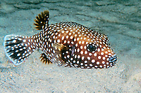 Smooth Pufferfish