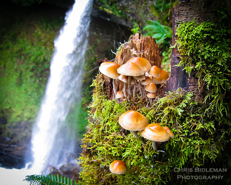 Mushrooms in Silver Falls State Park, Oregon with moss growing on logs and waterfall in the background