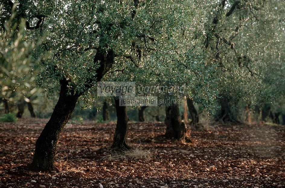 Europe/Italie/La Pouille/Env de Fasano: Champ d'oliviers à la masseria maccarone