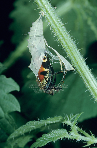 Peacock Butterfly, Inachis io , adult emerging from pupa on Stinging Nettle (Urtica dioica) , Oberaegeri, Switzerland, May 1994