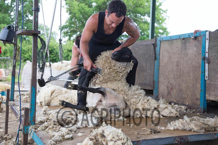 Sheep shearing<br /> Picture Tim Scrivener 07850 303986