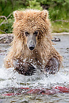 USA, Alaska, Katmai National Park, brown bear (Ursus arctos) fishes for sockeye salmon (Oncorhynchus nerka)