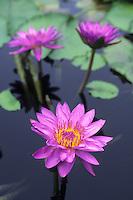 Water Lilies, Backyard Pond, New Jersey