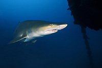 sand tiger shark, Carcharias taurus, aka grey nurse shark, spotted ragged-tooth shark, or blue-nurse sand tiger, pregnant, adult, female, Chichi-jima, Bonin Islands, Ogasawara Islands, Natural World Heritage Site, Tokyo, Japan, Pacific Ocean