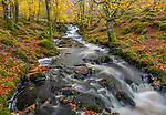 Western Highlands, Scotland: Small stream in autumn beech forest in Strathglass