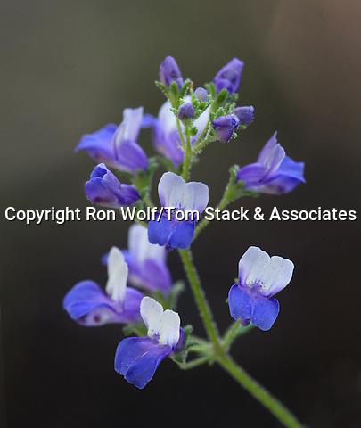 Smallflowered Blue-eyed Mary (Collinsia parviflora). Crane Flat. Yosemite National Park. Mariposa Co., Calif.