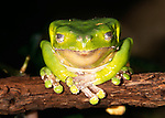 Giant green leaf frog, Amazon, Peru