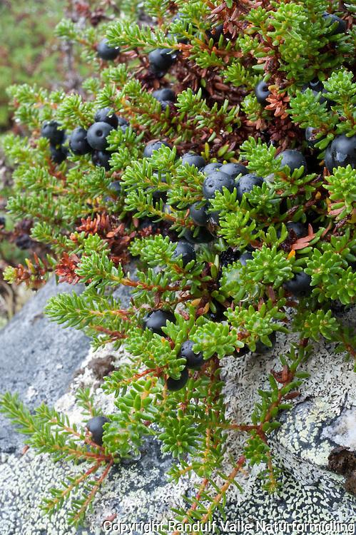 Krekling (Empetrum nigrum) ---- black crowberry