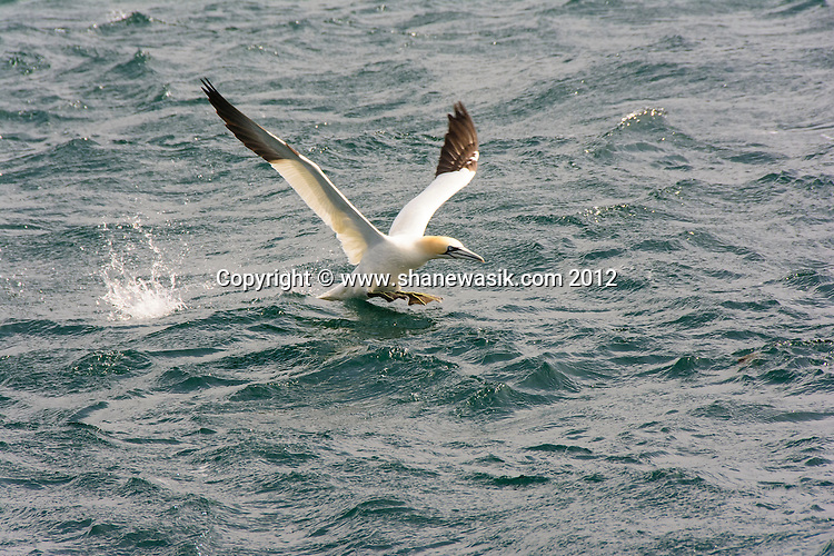 Gannet prepares for take-off!
