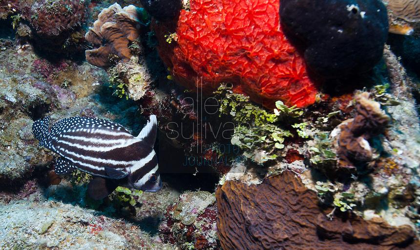 Spotted drum fish (equetus punctatus) among coral; West End, Roatan, Honduras.