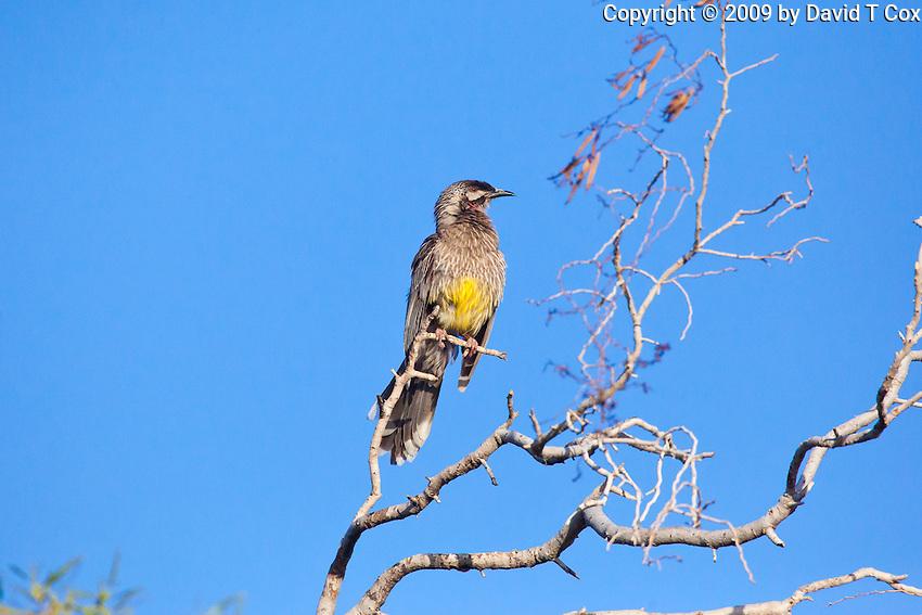 Red Wattlebird, Arid Lands Botanic Garden, Pt Augusta, SA, Australia