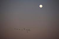 Pirapora _ MG, Brasil...Passaros voando em bando em Pirapora, Minas Gerais...A bird flock in Pirapora, Minas Gerais...Foto: LEO DRUMOND /  NITRO