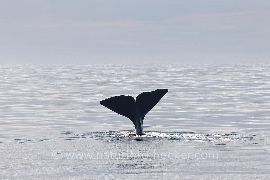 Abtauchender Pottwal, Pott-Wal, Pott - Wal, Schwanzflosse, Fluke, Nord - Norwegen, Physeter macrocephalus, Physeter catodon, Potwal, Cachalot, Kaschelot sperm whale, great sperm whale, cachalot