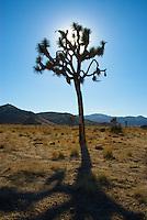 Joshua Tree in National Park