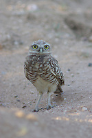 Burrowing Owl seen near the nest, A hole in the ground.