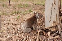 A koala sits at the base of a eucalyptus tree, just before beginning its climb, Belair, South Australia.