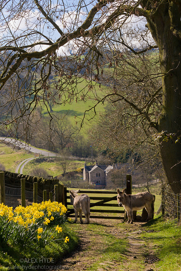Daffodils flowering next to lane with donkeys in background. Birchover, Peak District National Park, UK. March.