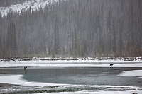 Wolf stalks a caribou that seeks refuge in the middle of the Koyukuk River, Brooks Range, Arctic, Alaska.