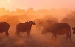 African buffalo, Botswana