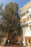 Israel, Sharon region. Eucalyptus tree on 31, Tarna St. Hadera