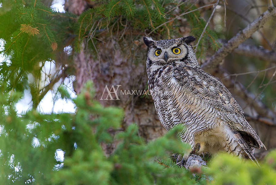 I'm fortunate to see Great horned owls nearly every year in Yellowstone.