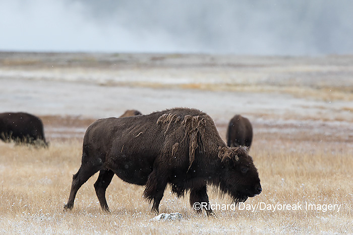 01985-02706 Bison (Bison bison) near Midway Geyser Basin Yellowstone National Park, WY