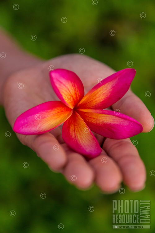 A woman's hand holding a plumeria flower on O'ahu.
