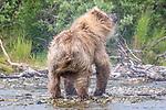 USA, Alaska, Katmai National Park, brown bear (Ursus arctos) fishes for sockeye salmon (Oncorhynchus nerka)