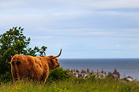 "ancient breed of highland cattle known as ""kyloe."""
