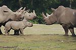 Foto: VidiPhoto<br /> <br /> ARNHEM &ndash; Met een ongebruikelijke brutaliteit heeft het drie maanden oude neushoorntje Naomi, vader Gilou donderdag van de safarivlakte in Burgers&rsquo; Zoo geduwd. Het verschil tussen beiden is 2700 kilo. Beiden maakten donderdag voor het eerst kennis met elkaar. Dat gebeurde op de safarivlakte van het Arnhemse dierenpark, waar ruimte genoeg is om uit te wijken bij een confrontatie als het nodig is. En het was nodig. Brutaal duwde Noami haar vader in de verdediging en langzaam achteruitstappend kreeg de enorme &lsquo;bulldozer&rsquo; de hele vlakte te zien. De opstand tegen het onbetwiste gezag van vader was zeer opmerkelijk, omdat Gilou zijn vorige kinderen juist flink mishandelde tijdens de eerste ontmoeting. Als kleine kanttekening moet wel vermeld dat moeder Kwanzaa (2500 kilo) en broertje Thomas (900) kilo een imponerende achterwacht vormden.