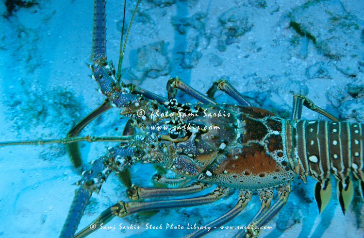 Spiny lobster on the sandy ocean floor, Paso del Cedral, Cozumel Island, Mexico.