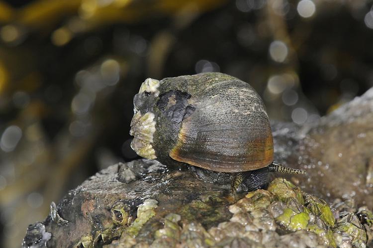 Common Periwinkle - Littorina littorea