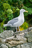 Gull, Prince William Sound, Alaska