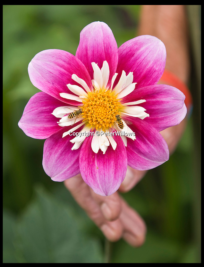 BNPS.co.uk (01202 558833)<br /> Pic: PeterWillows/BNPS<br /> <br /> ***Please Use Full Byline***<br /> <br /> A dahlia.<br /> <br /> Garden plants could soon be on the menu in homes across Britain after a range of edible dahlias went on sale in a bid to revive a 500-year-old tradition.<br /> <br /> Growers have spent two years developing the edible dahlias after taking inspiration from the Aztecs, who would eat the bulbous roots of the common garden blooms for their taste and nutritional value.<br /> <br /> The trend for scoffing dahlias died out in the 1700s when the colourful flowers were brought to Europe and they became popular instead for their ornamental qualities.<br /> <br /> But now growers Lubera are urging amateur gardeners to plant their new range of edible dahlias so that when the flowers die out at the end of the summer they can eat what's left of the plant.
