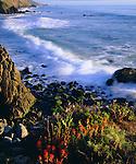 USA, Wildflowers along the California Coast