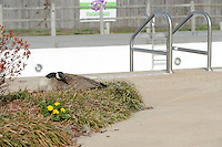 NWA Democrat-Gazette/ANDY SHUPE<br /> A Canada goose sits Wednesday, March 23, 2016, on eggs in a planter near the edge of the pool at the Prairie Grove Aquatic Center. City workers are being cautious while working around the bird as they prepare the pool for its opening in May and hope that she and her young have moved on before then.