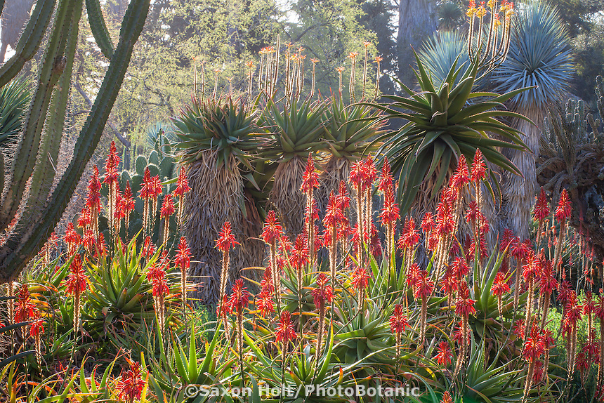 Red flowering Aloe succulent backlit in the drought tolerant Desert Garden at Huntington Library Botanical Garden, California