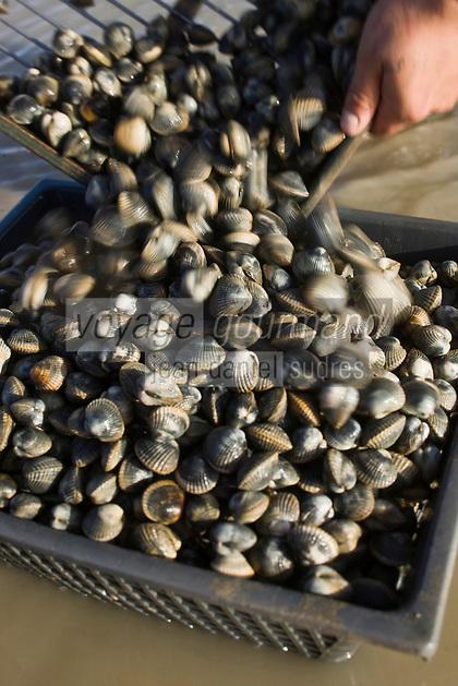 Europe/France/Picardie/80/Somme/Baie de Somme/Le Hourdel: ramassge des coques de La Baie de Somme, à la Pointe du Hourdel -désablage des coques à l'aide d'une grille