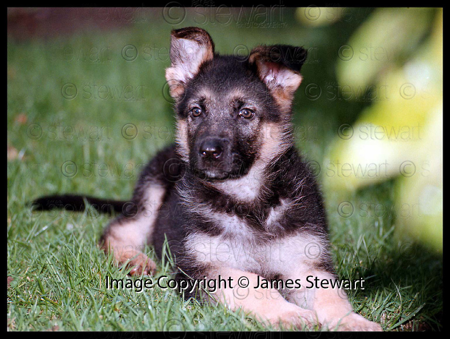 """11th Nov 97  Ref : 970401    Copyright Pic : James Stewart.POLICE DOG """"WALLACE"""" WHO ISTHE FIRST PUP FROM CENTRAL SCOTLAND POLICE DOG SECTION'S NEW BREEDING PROGRAM.......Payments to : James Stewart Photo Agency, Stewart House, Stewart Road, Falkirk FK2 7AS     Vat Reg No. 607 6932 25.Office 01324 630007   Mobile 0421 416997"""