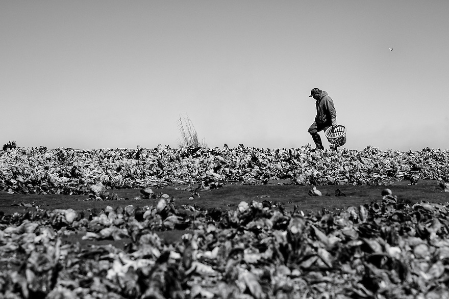 Ed Atkins walks along the oyster beds while harvesting oysters for is customers.
