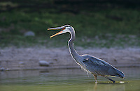 Great Blue Heron, Ardea herodias,adult in pond yawning, Starr County, Rio Grande Valley, Texas, USA, May 2002