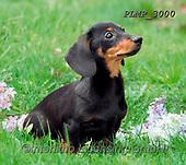 Marek, ANIMALS, REALISTISCHE TIERE, ANIMALES REALISTICOS, dogs, photos+++++,PLMP3000,#a#, EVERYDAY
