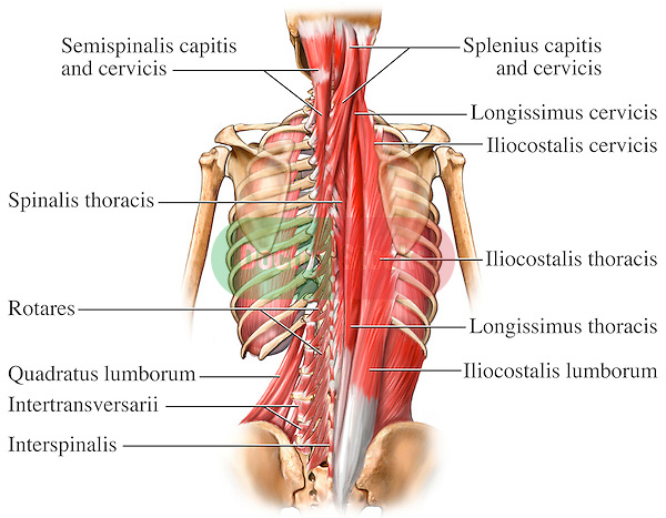 This full color stock medical exhibit illustrates the deep muscles of the back and spine. The following structures are labeled:  semispinalis capitis, spinalis, cervicis, spinalis thoracis, rotares, splenius capitis, longissimus cervicis, iliocostalis cervicis, iliocostalis thoracis, longissimus thoracis, iliocostalis lumborum....